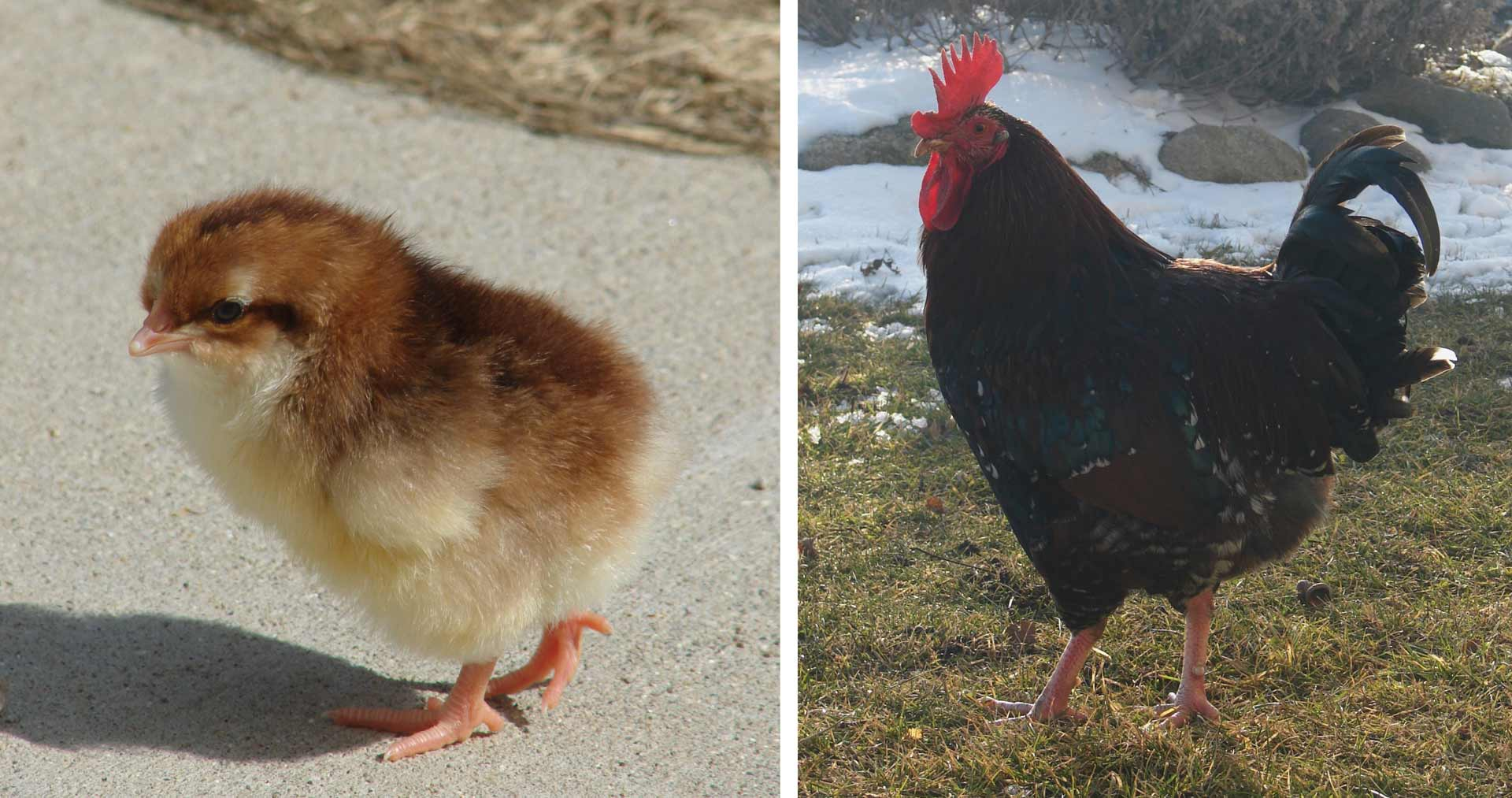 NBS_Pets_Charlie-the-rooster.1920x